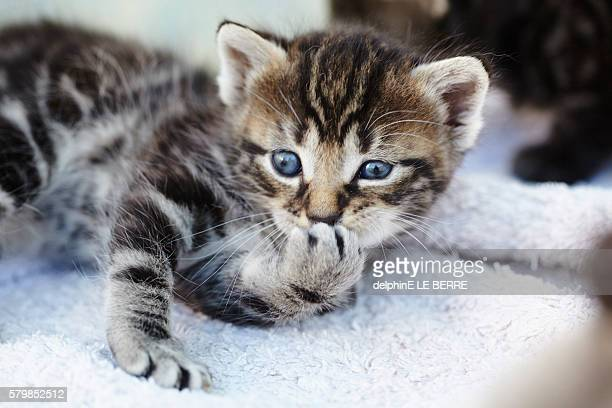 Kitten licking hand