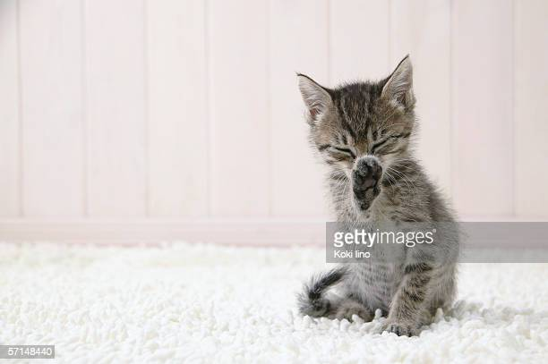 kitten licking its paw - feet lick stock pictures, royalty-free photos & images