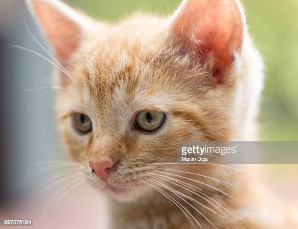 kitten looking at camera - animal body part stock photos and pictures
