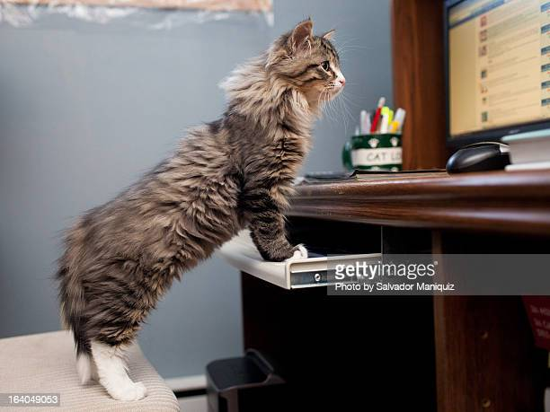 kitten looking at computer monitor - maine coon cat stock pictures, royalty-free photos & images