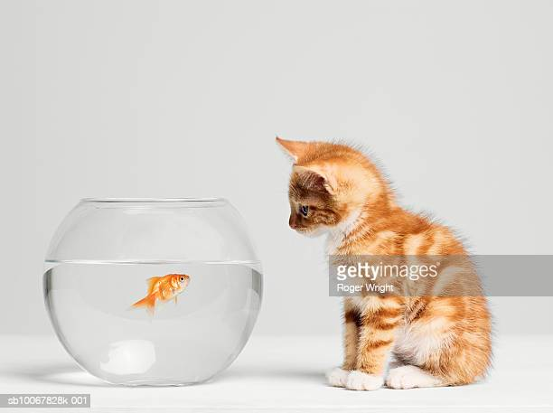 Kitten looking at fish in bowl, side view, studio shot
