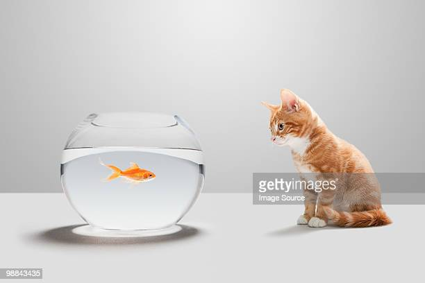 Kitten looking at goldfish in bowl