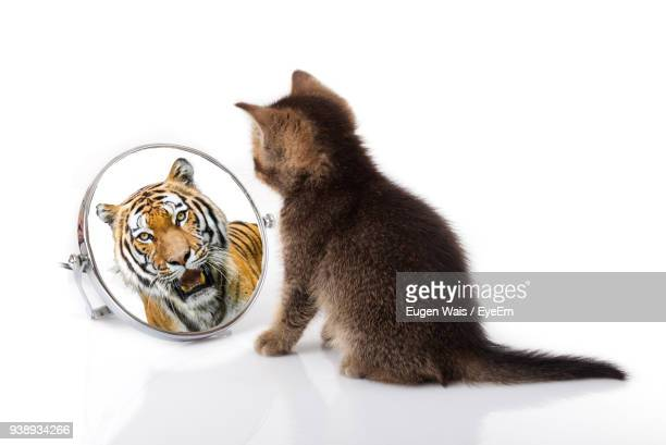 kitten looking at reflection of tiger in mirror against white background - dos animales fotografías e imágenes de stock