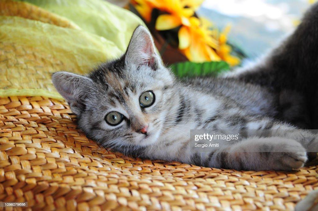 Kitten looking at the camera : Stockfoto
