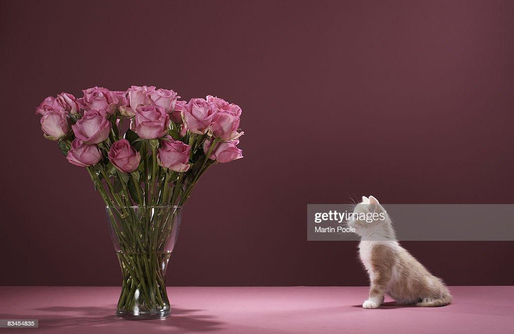 Kitten looking at vase of roses : Stock Photo