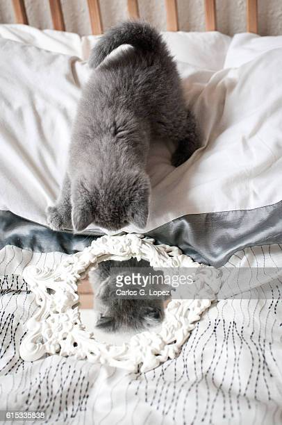 kitten looking down on mirror - british shorthair cat stock pictures, royalty-free photos & images