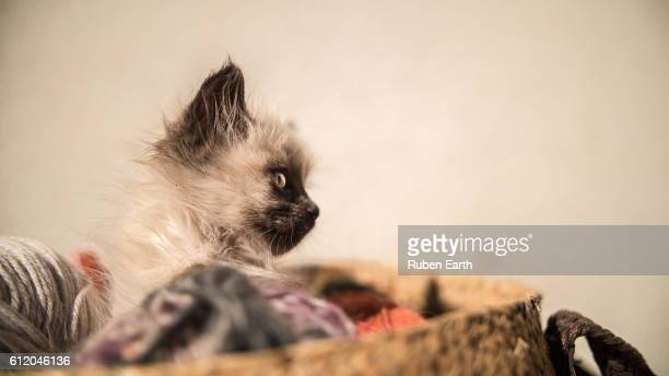 kitten looking to the right - black siamese cat stock pictures, royalty-free photos & images