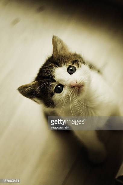 kitten looking up - magdasmith stock pictures, royalty-free photos & images
