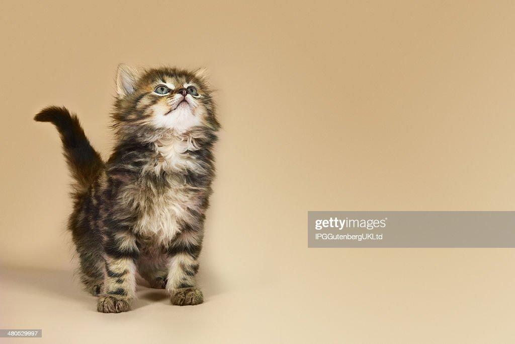 Kitten Looking Up : Stockfoto