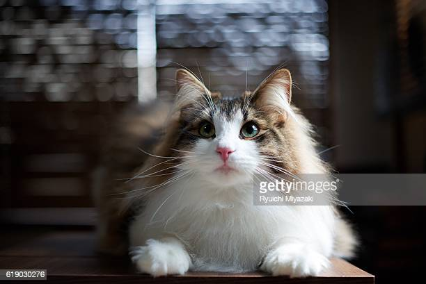 kitten looking up - norwegian forest cat stock photos and pictures