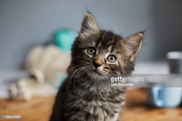 kitten looking up towards the camera - cats stock pictures, royalty-free photos & images
