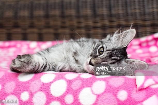 Kitten lying on side, starting at camera