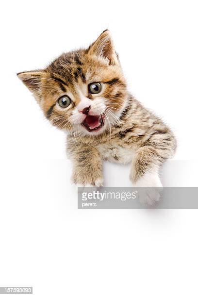 kitten make a speech