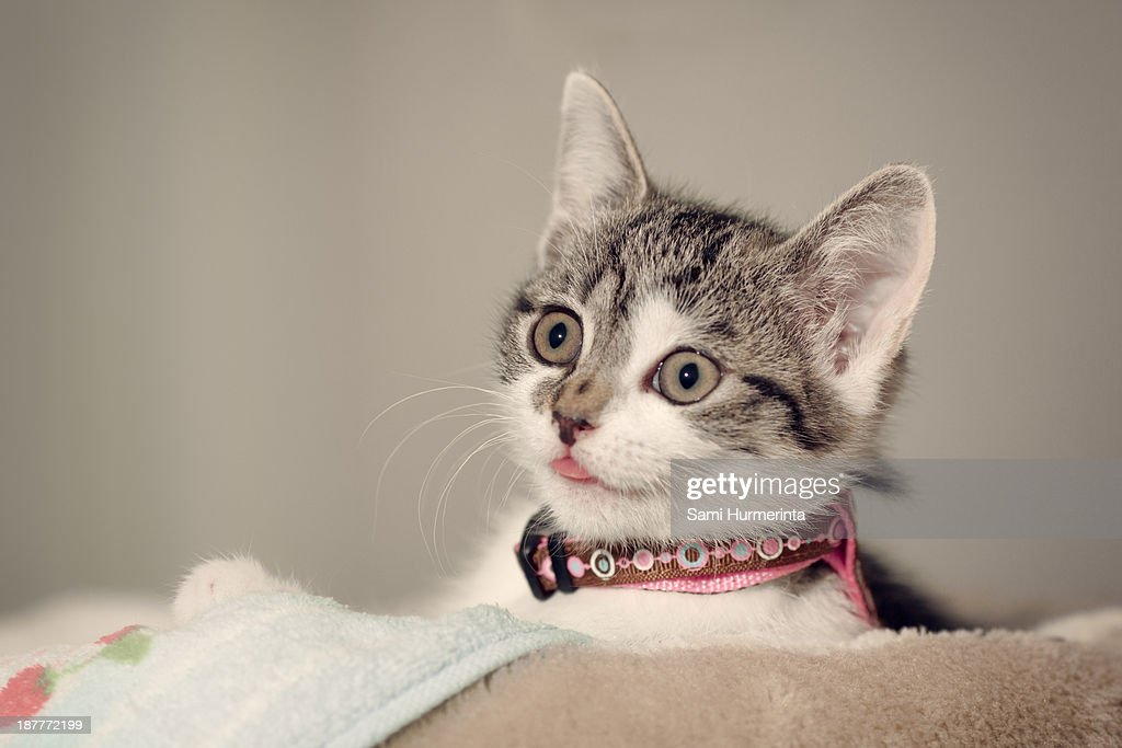 A kitten making a funny face : Stock Photo