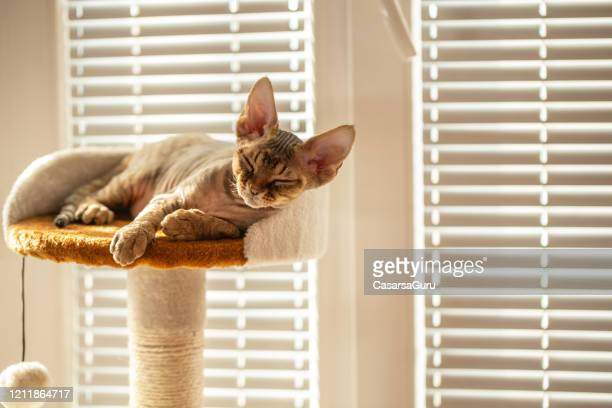 kitten napping on cat bed on scratching post in front of window - stock photo - shorthair cat stock pictures, royalty-free photos & images