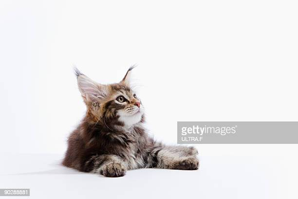 a kitten of maine coon cat - maine coon cat stock pictures, royalty-free photos & images