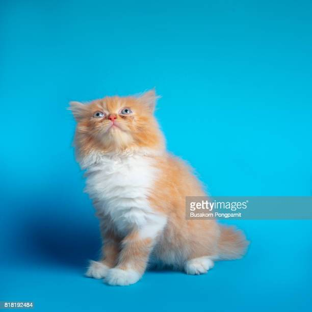 Kitten (Persian) on a blue screen background isolated