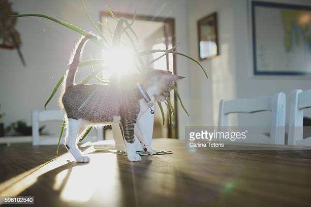 Kitten on a dining table with sunflare
