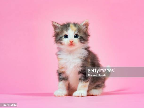 kitten on pink background - kitten stock pictures, royalty-free photos & images