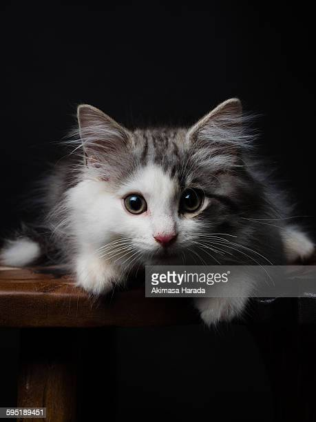 kitten on the table - norwegian forest cat stock photos and pictures
