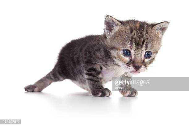 kitten on white background - vertebrate stockfoto's en -beelden