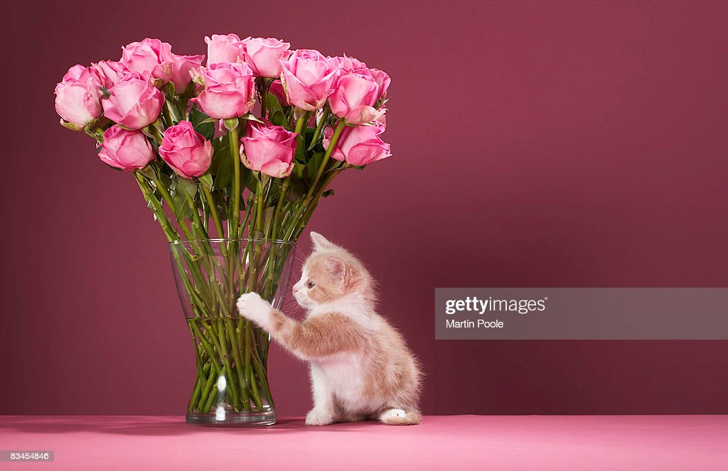 Kitten pawing vase of roses : Stock Photo