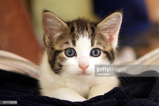kitten - shorthair cat stock pictures, royalty-free photos & images