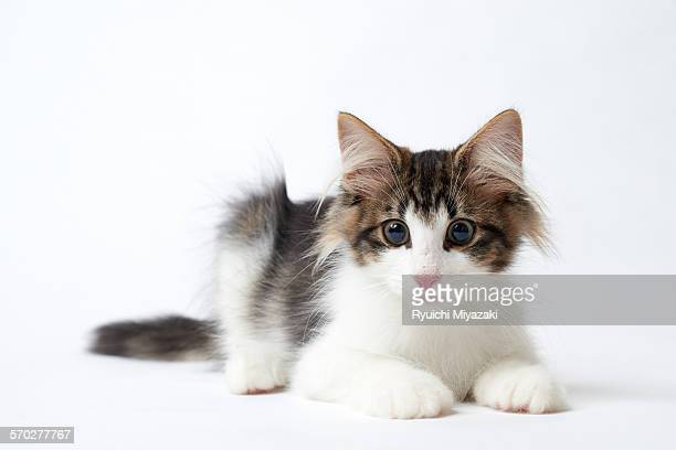 kitten - norwegian forest cat stock photos and pictures