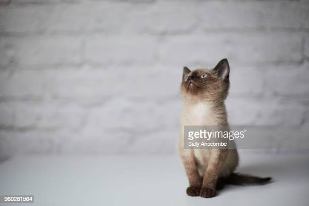 kitten - siamese cat stock pictures, royalty-free photos & images