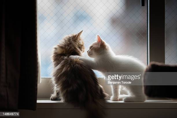 kitten placing paw on other kitten - consoling stock pictures, royalty-free photos & images