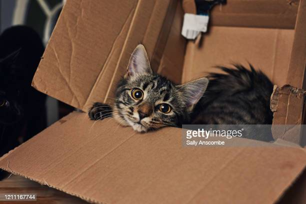 kitten playing in a cardboard box - cats stock pictures, royalty-free photos & images