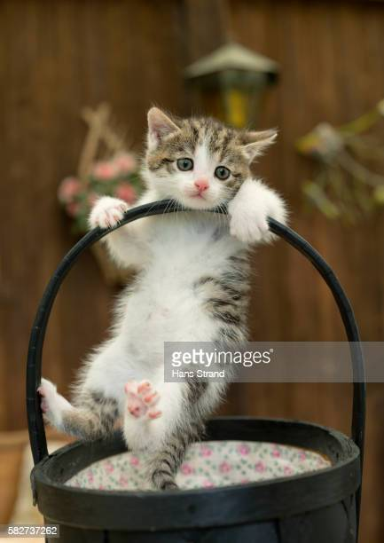 Kitten playing in basket