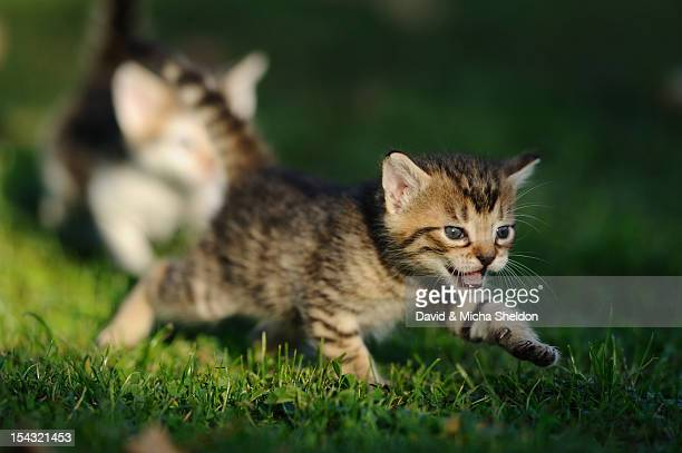 kitten playing in grass - puss pics stock photos and pictures