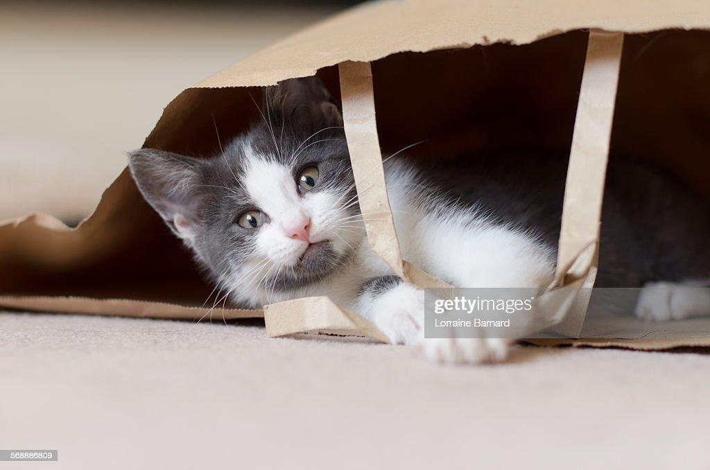 Kitten playing in Paper Bag with Handles : Stock Photo