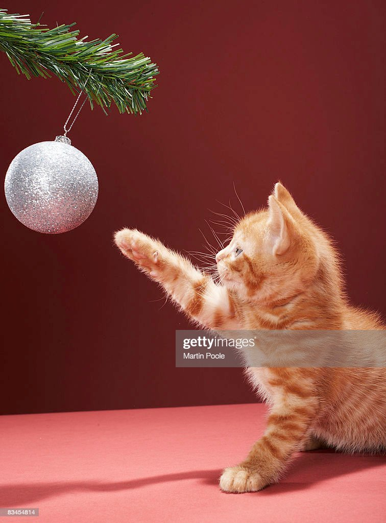Kitten playing with Christmas bauble on tree : Stock Photo