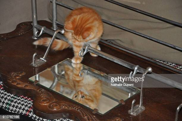 kitten playing with his reflection in a mirror - animal stage stock photos and pictures