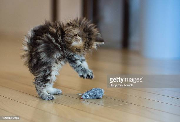 kitten playing with mouse toy on floor - kitten stock pictures, royalty-free photos & images