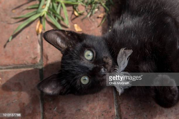 A kitten plays with a feather in a park on August 8 2018 in Istanbul Turkey Istanbul is known as the City of Cats and sometimes referred to as...