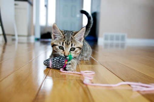 Kitten plays with toy mouse 157512060