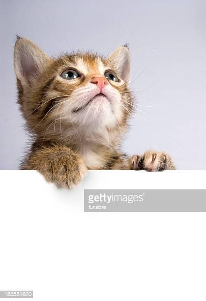 Kitten posing above white banner