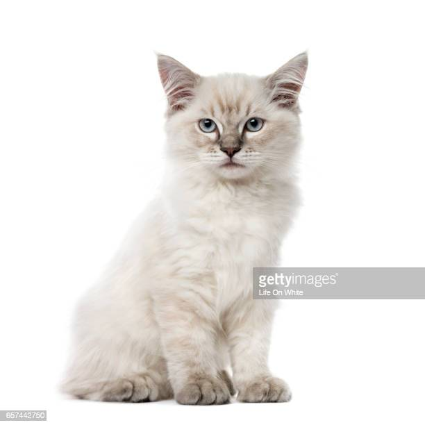 Kitten Ragdoll sitting, 3 months old, isolated on white
