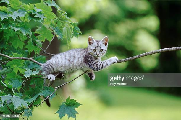 Kitten Resting on Branch