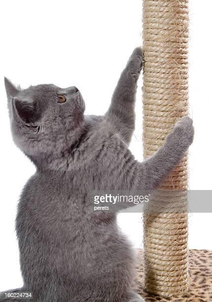 Katzenjunges schärfen claws