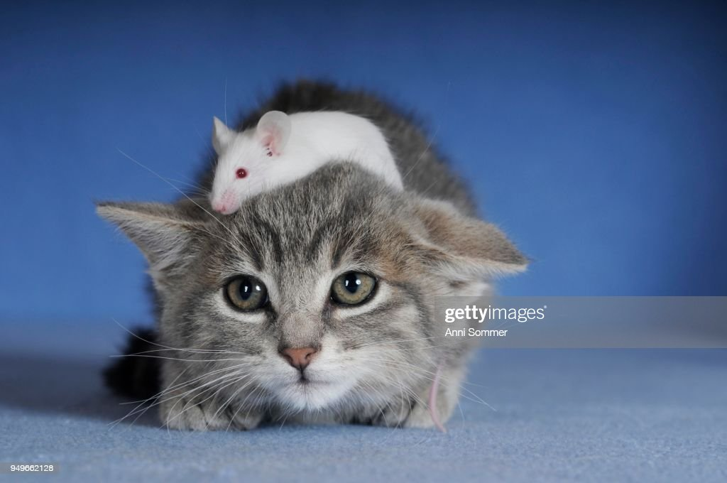 cd69e4427f Kitten Silver Tabby And White Coloured Fancy Mouse Stock Photo ...