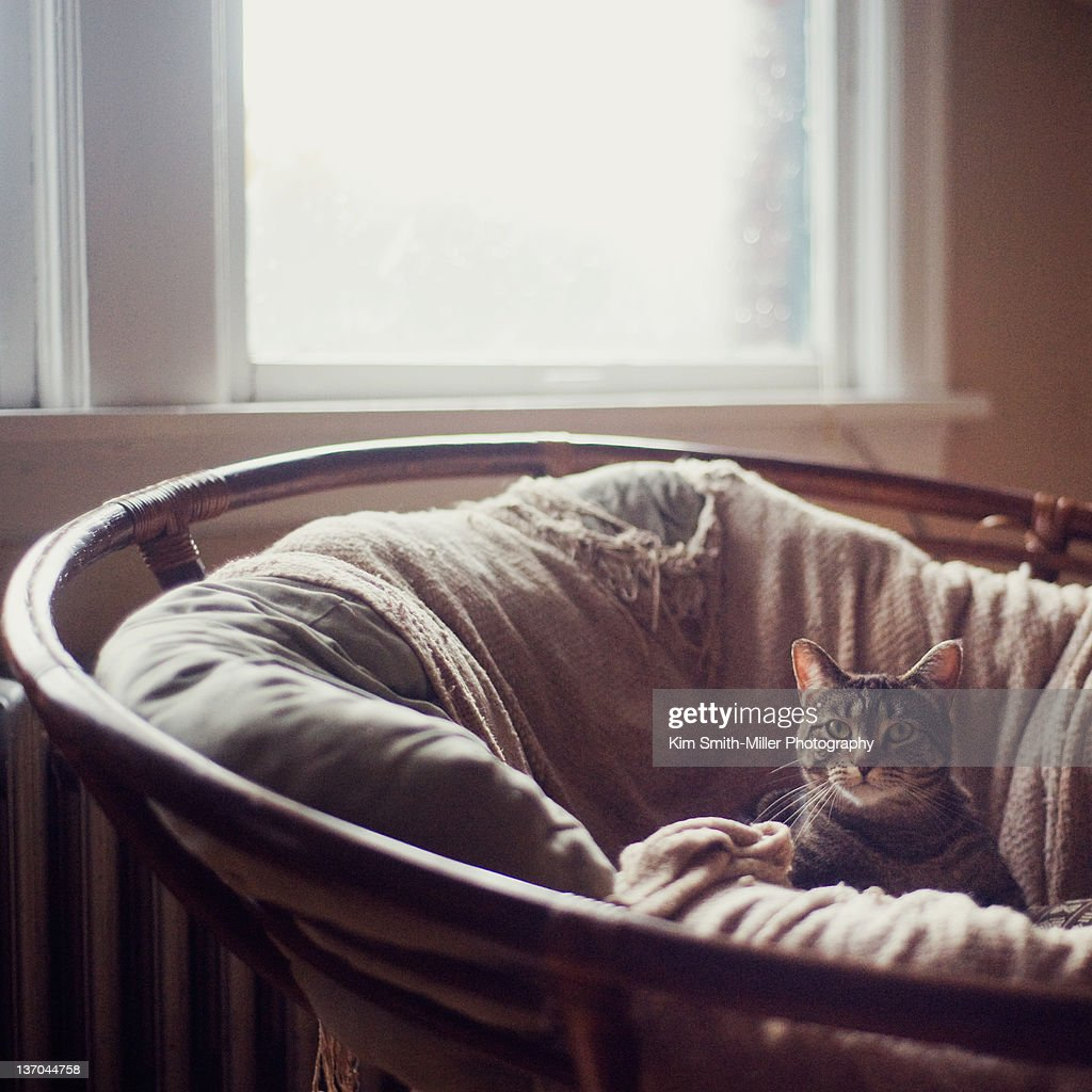 Kitten Sitting In Large Papasan Chair : Stock Photo