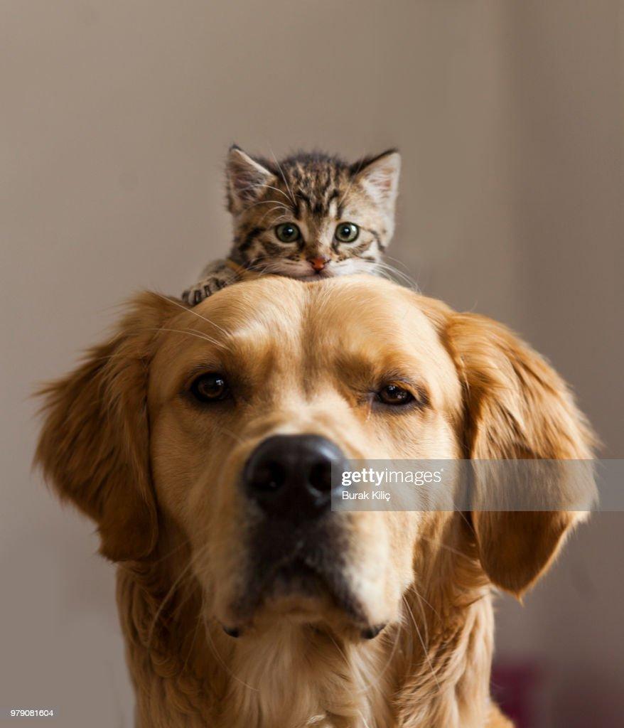 Kitten sitting on dog : Stock Photo