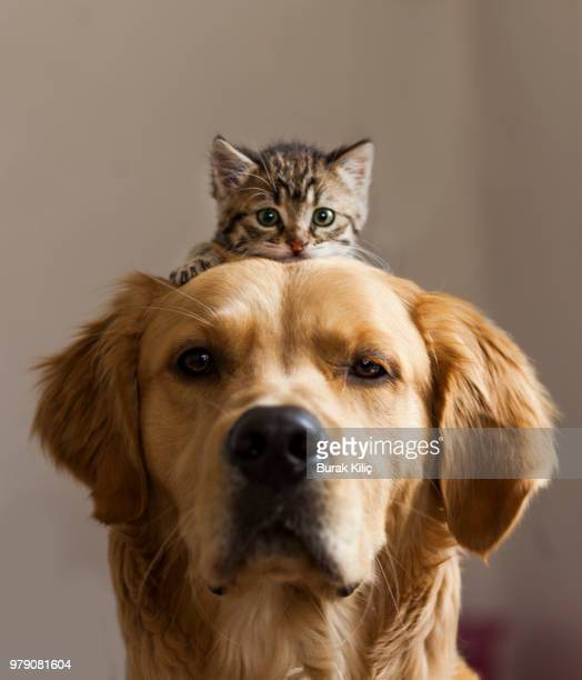 kitten sitting on dog - dog and cat stock photos and pictures
