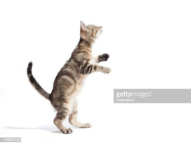 kitten standing on back paws - chat photos et images de collection
