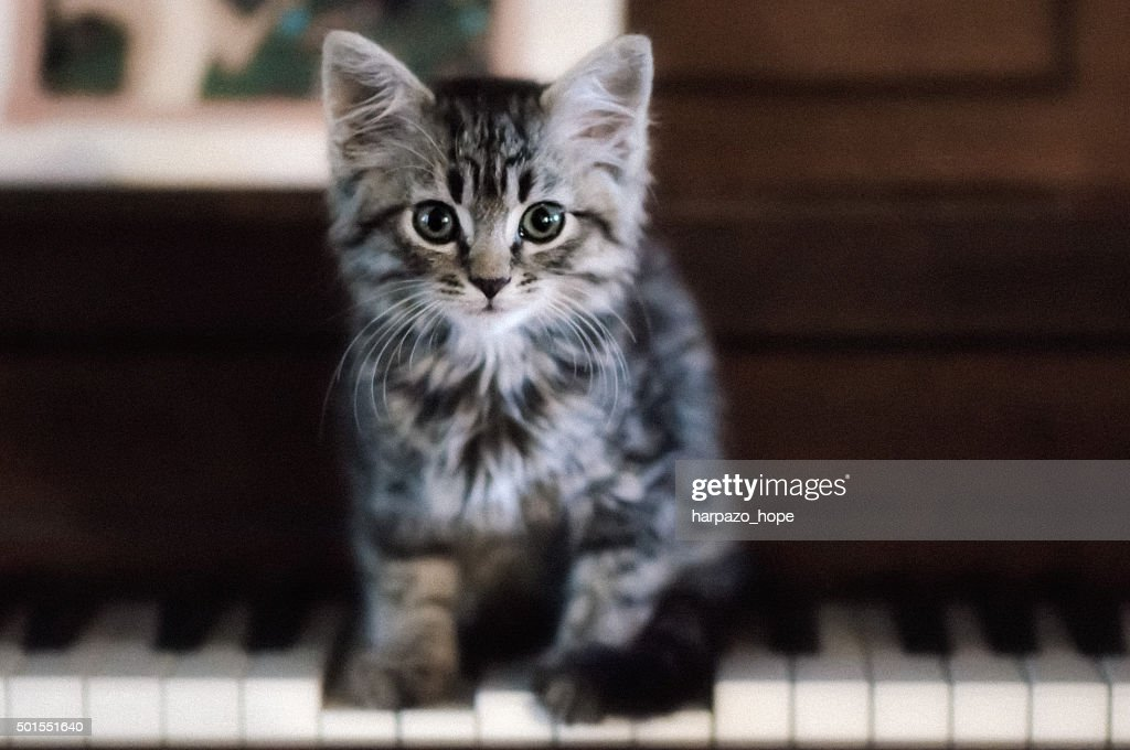 A cute little kitten looks at the camera as he stands on piano keys.