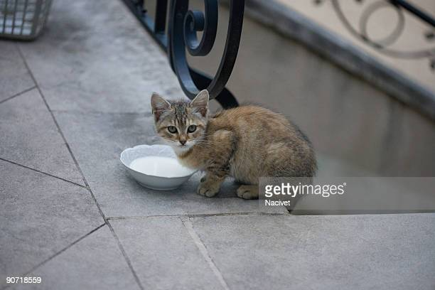 Kitten standing over milk bowl, looking at